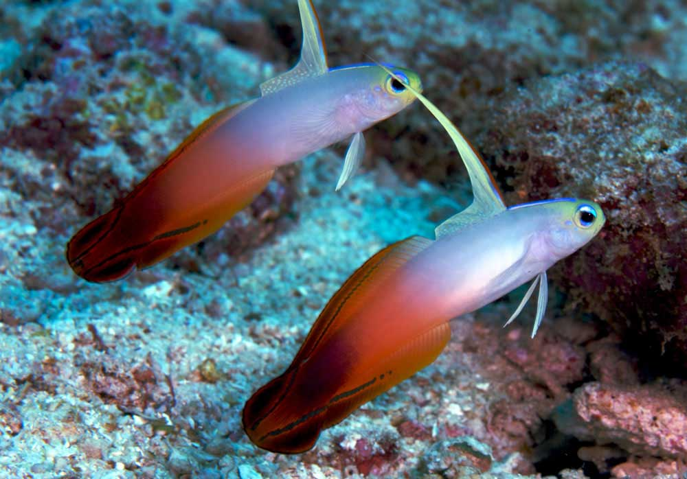 Red fire gobies