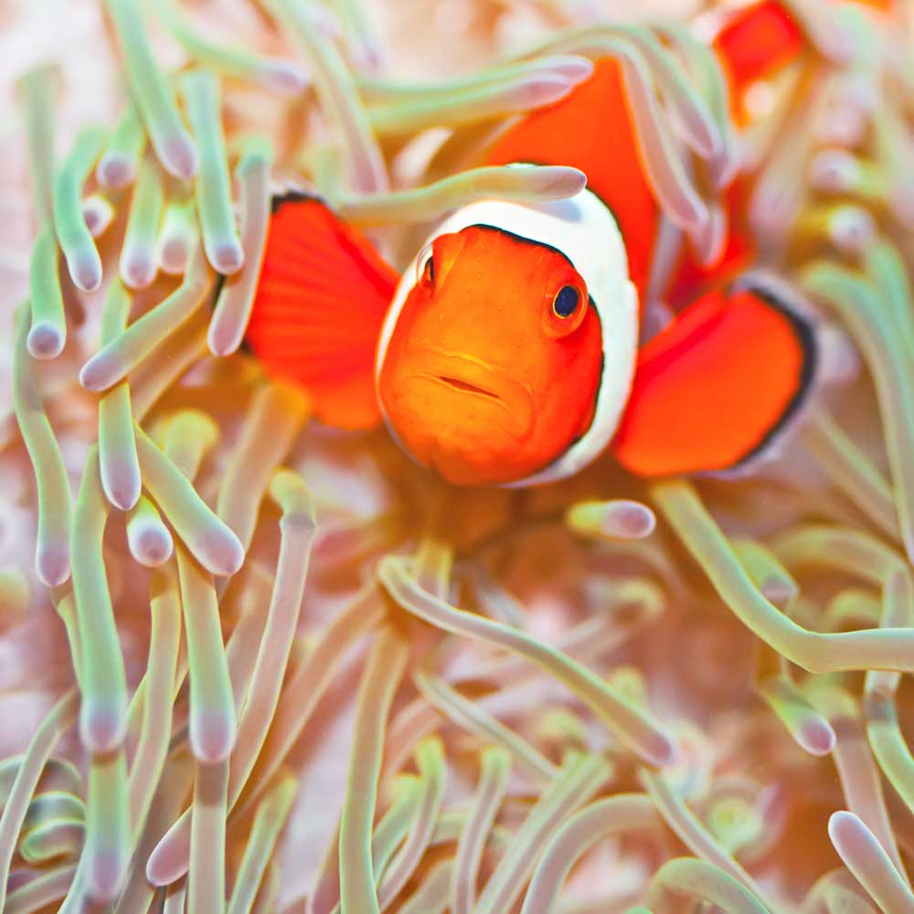 Similans clownfish