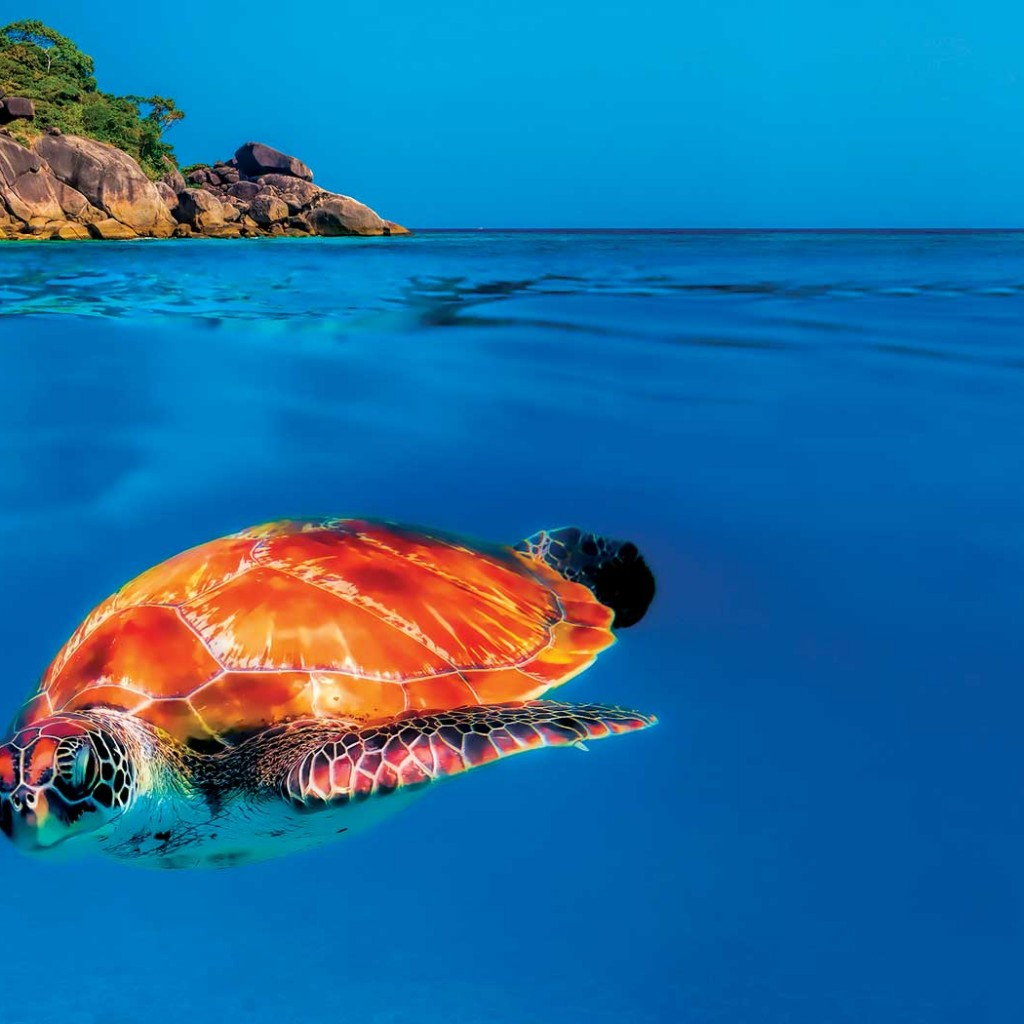 Turtle in the Surin Islands