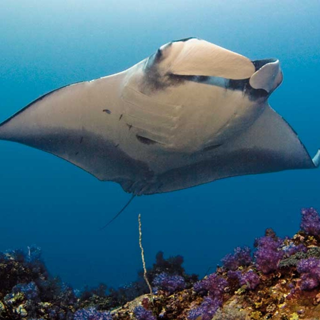 Giant Manta Ray Photo © Dr. Andrea Marshall