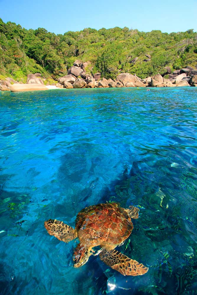 Turtle sightings are common for visitors to the Similan Islands National Park