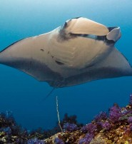Diving into the Realm of Manta Rays