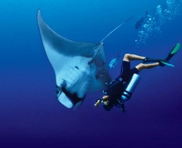 Magnificent Manta Rays